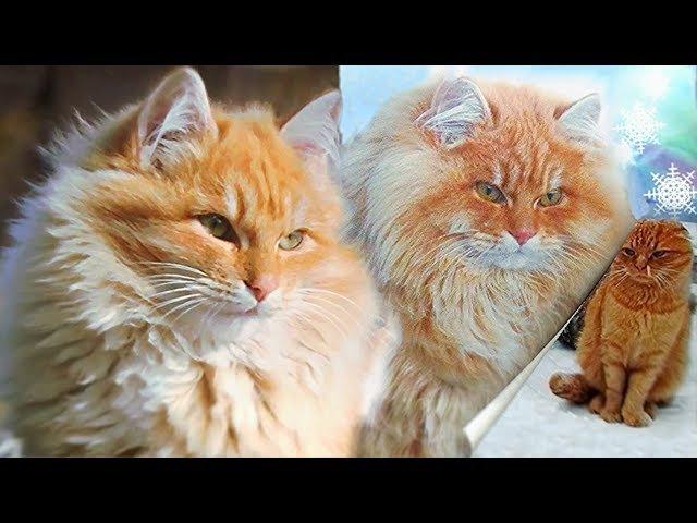 1 Муся Осень Зима Winter in Koshlandia Siberian Farm cats Деревенские кошки