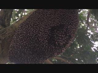 Гипнотический танец пчелиного роя, который отпугивает врагов