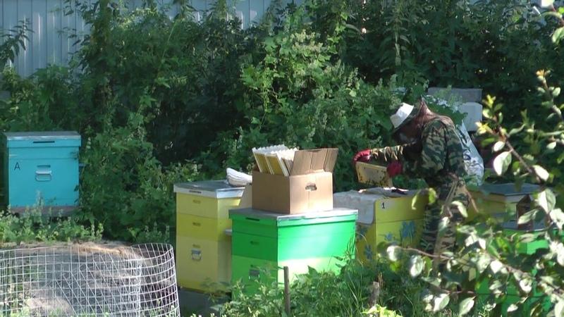 Пчеловодство. Папа Дима достаёт рамки с мёдом из ульев