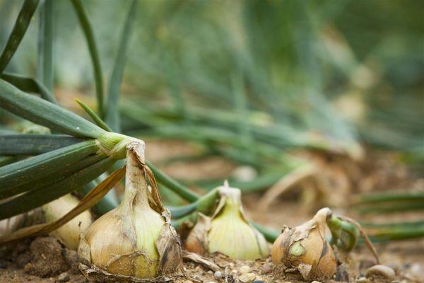 Как мне удается вырастить крупный лук. Несколько тонкостей. Лук является постоянным гостем на всех садовых грядках. Не особенно сложно получить урожай, но часто он очень мелкий. Но чтобы
