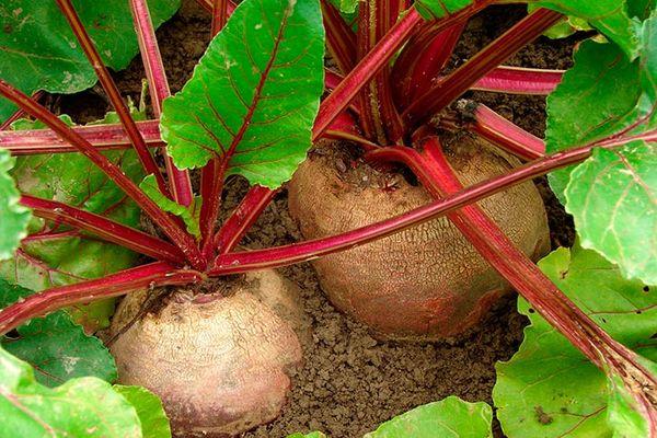 Чтоб вырастить здоровую и крупную свеклу, я использую обычную марганцовку. Марганцовка поистине незаменима, в вопросе выращивания огородных культур. Ее применяют для обработки грунта и семян,