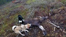 Охота 207 на лося, загонная