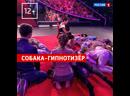 Собака-гипнотизёр — «Удивительные люди» — Россия 1