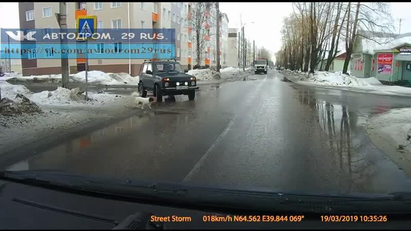 Северодвинск. Умная собачка, вежливые водители.