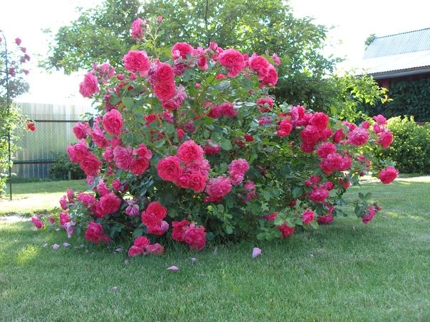 8 секретов выращивания роз