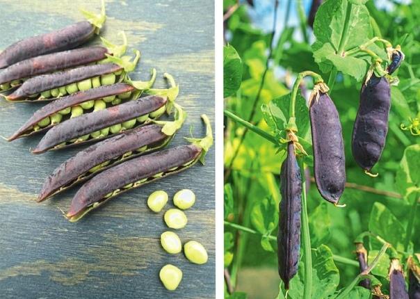 Грядка в фиолетовый горошек: необычные сорта гороха.