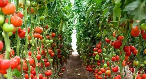 «Сухой закон» для томатов (метод Казарина).