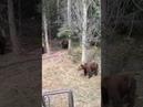 Медведи Томская область маракса