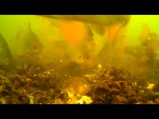 Подводная съемка ловли карпа на флэт или почему не клюет и кто съел прикормку) nGhY1d5y58Q