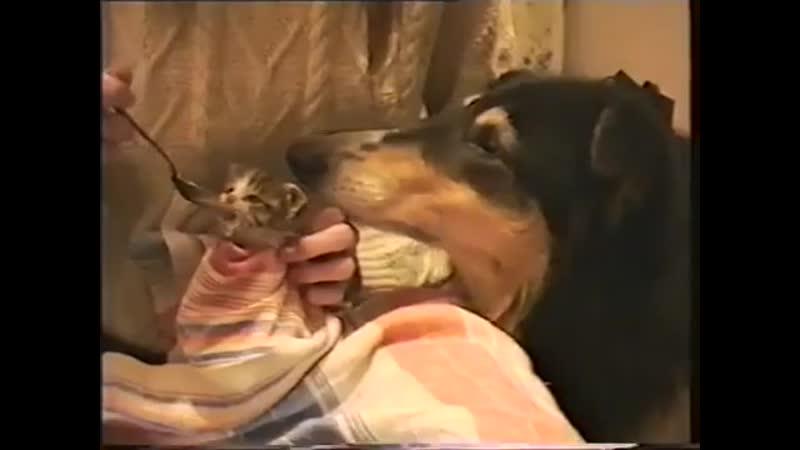 Как нежна и терпелива была Нюша (колли) с малышкой Маней.