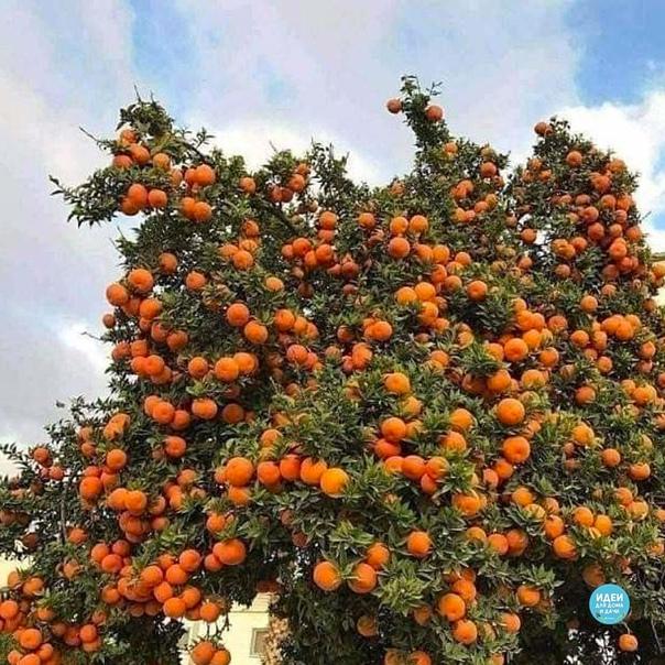 Вот так растут мандарины Как вам