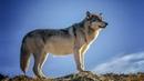От Волчонка к Волку. Этапы взросления | Film Studio Aves