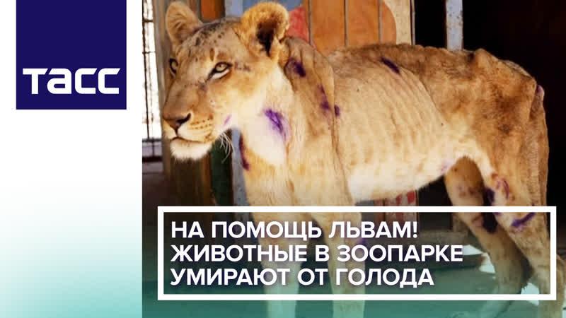 На помощь львам! Животные в частном зоопарке умирают от голода