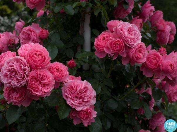 Интересный метод омоложения роз содой.