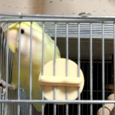 """コザクラクロス on Instagram bird birdstagram lovebird petbird agapornis roseicollis 鳥 コザクラインコ 小鳥 インコ 愛鳥 ラブバード インコスタグラム"""""""