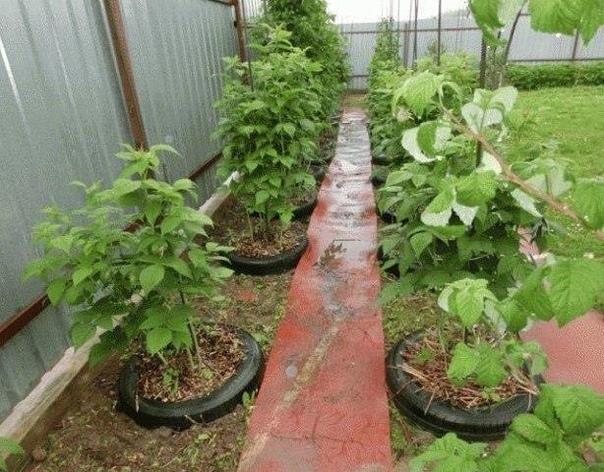 Оригинальный способ выращивания малины