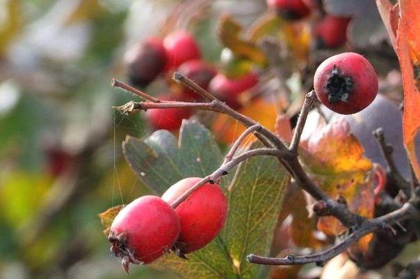 Яркие грозди боярышника