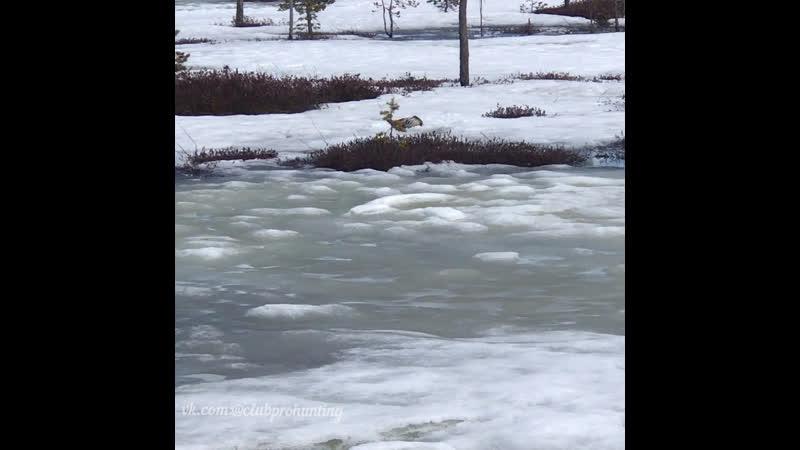 Охота на гусей Результат одного налёта