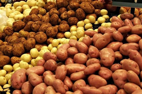 Стоит ли мыть выкопанный картофель, который планируется заготовить на длительное хранение