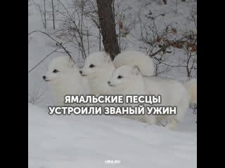 Ямальские песцы устроили званый ужин
