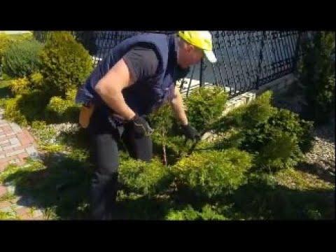 Jak zrobić drzewko Bonsai Formowanie Jałowca w bonsai Niwaki topiary