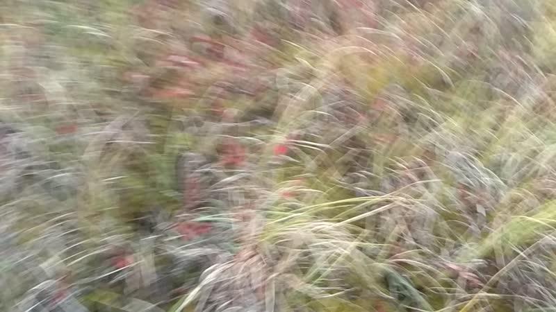 на болотах за клюквой