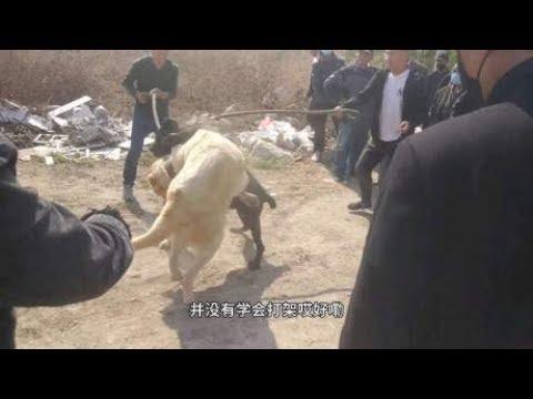 中亚咬狼犬大战猛犬卡斯罗,一场非常激烈的战斗,结果很悬殊
