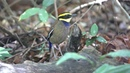 Javan Banded Pitta (Male)