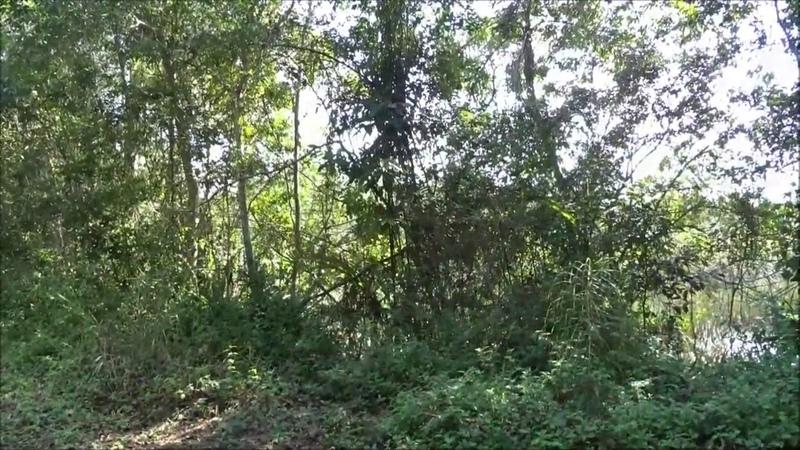 Canto da colomba Patagioenas cayennensis, gravado ao vivo da mata