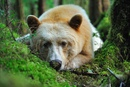 Белые кермоды — это редкий подвид американского черного медведя.