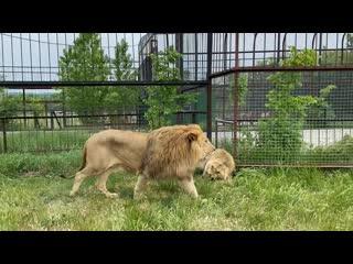 Как разогнать четырёх разъярённых львов