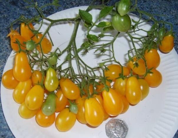Это просто чудо помидорки, может кто-то уже выращивал такие...