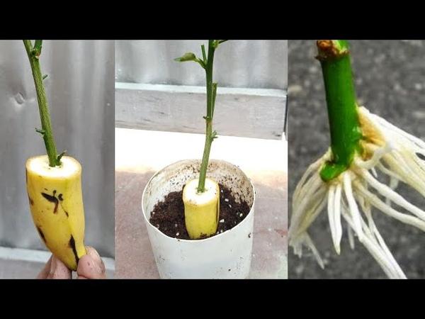 Banana natural rooting hormone