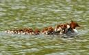 Большой крохаль со своим выводком из шестнадцати утят на озере в Хейвуде, графство Ланкашир…