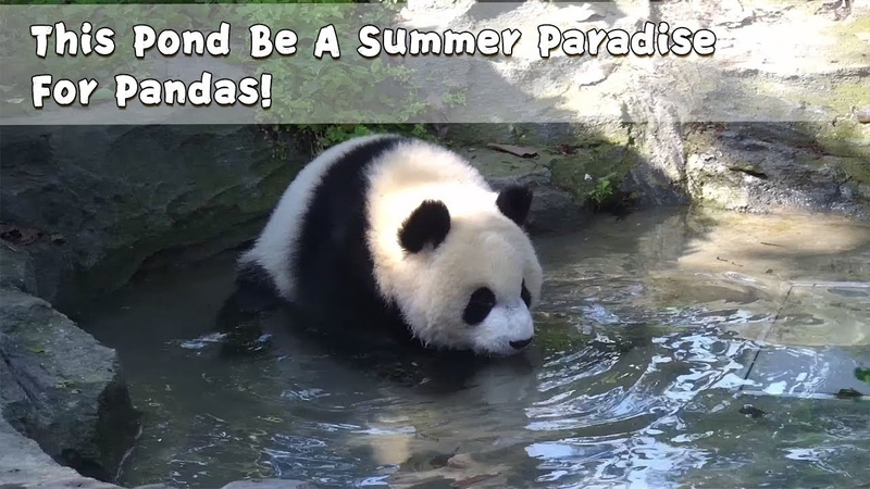 This Pond Be A Summer Paradise For Pandas!   iPanda