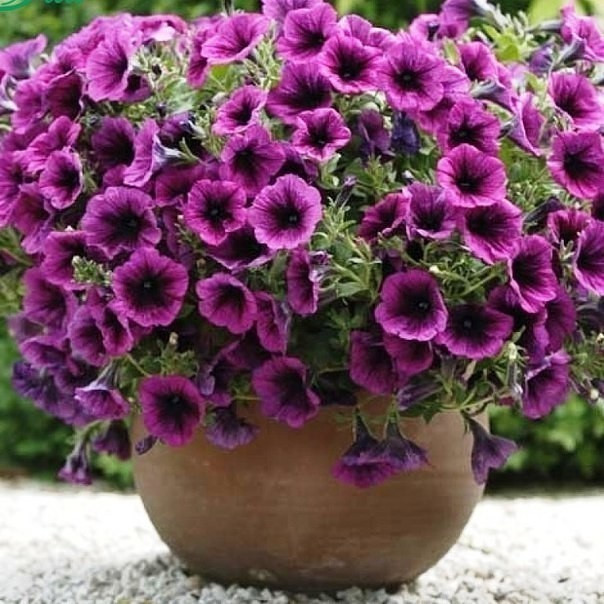 Для шикарного цветения питунии