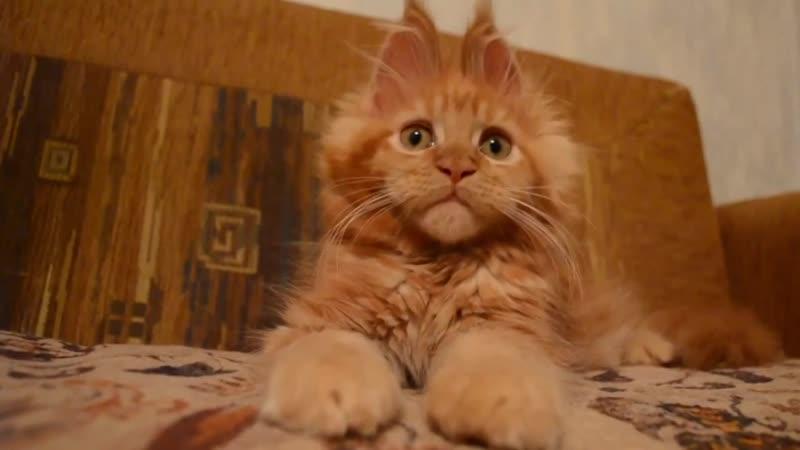 Котенок мейн - кун! Какая прелесть))